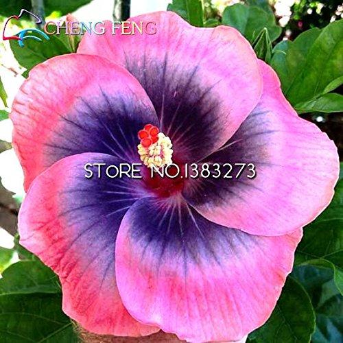 Auf Verkaufs-100pcs Hibiscus Samen 17kinds Hibiscus rosa-sinensis Blumensamen Hibiskus Baum Bonsai für Raum Blumen Topfpflanzen