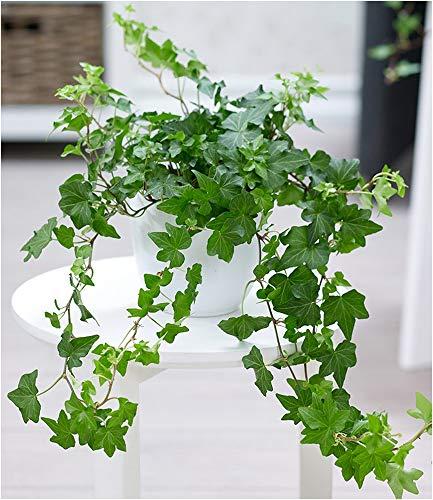 BALDUR-Garten Efeu 1 Pflanze Zimmerpflanze Hängepflanze Hedera helix