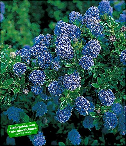 BALDUR-Garten Immergrüne Säckelblume Blauer Ceanothus Blue Mound 1 Pflanze Kalifornischer Flieder winterhart