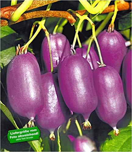 BALDUR-Garten Kiwi Kens Red inkl Befruchter 2 Pflanzen Actinidia arguta Kiwipflanze winterhart