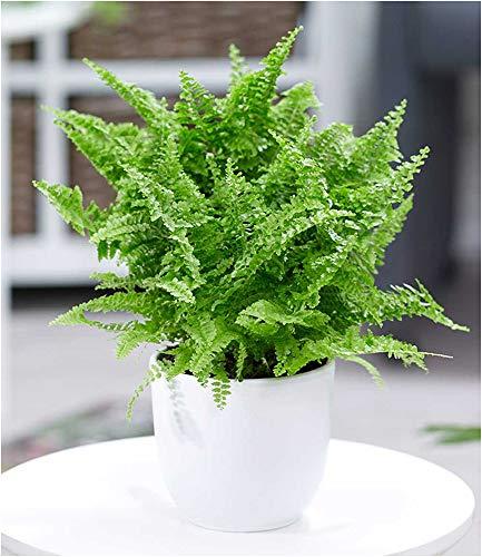 BALDUR-Garten SchwertfarnVitale 1 Pflanze Zimmerpflanze luftreinigend Nephrolepis vitale