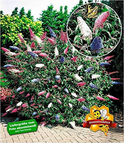 BALDUR-Garten Sommerflieder Papillion Tricolor Buddleia Schmetterlingsflieder Tricolor Schmetterlingsstrauch Zierstrauch 1 Pflanze Buddleja davidii
