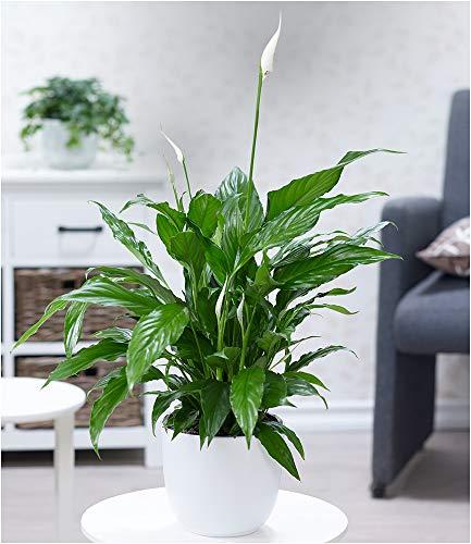 BALDUR-Garten Spathiphyllum im 60 cm hoch 1 Pflanze Einblatt blühende Zimmerpflanze