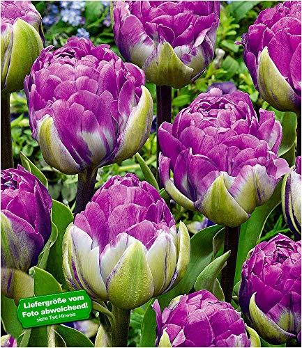 BALDUR-Garten TulpeBlue Wow10 Stück