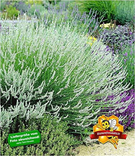 BALDUR-Garten Weißer Lavendel Duftlavendel echter Lavendel 3 Pflanzen Lavandula