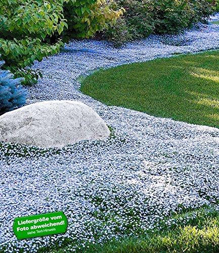 BALDUR-Garten Winterharter Bodendecker Isotoma Blue Foot Blauer Bubikopf Gaudich Rasen-Ersatz 9 Pflanzen Isotoma fluviatilis trittfest