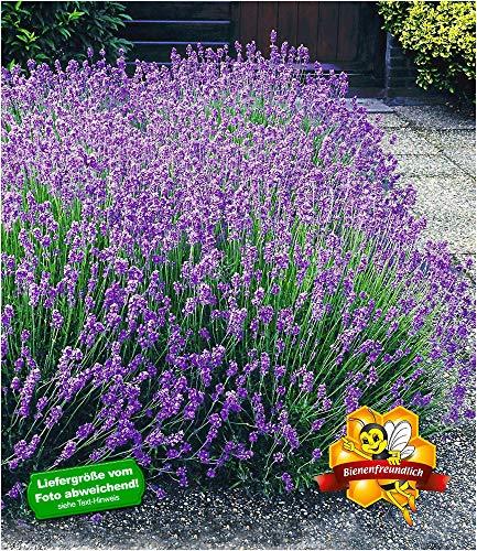 BALDUR-Garten Winterharte Stauden Lavendel-Hecke Blau Duftlavendel 9 Pflanzen Lavandula angustifolia Munstead echter Lavendel