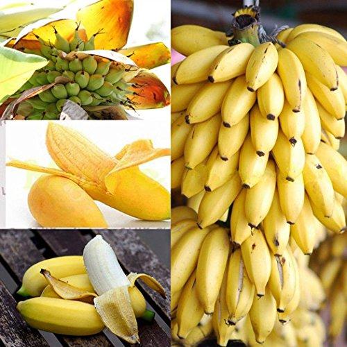 Coorun 10203050100 Stücke Banane Samen Mini Bonsai exotische Hausgarten Obst Bäume Outdoor Obst Samen für Garten Pflanzen 20 Teilepaket