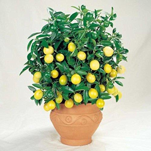 ESHOO 30 Stück Zitronenbaum Samen Indoor Outdoor Obst Pflanze Samen Haus Garten