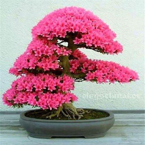 5 Arten der japanischen Sakura-Samen Bonsai-Baum Bonsai-Samen Blume Kirschblüten DIY Haus Garten freies Verschiffen 15 PC H48 Rose Red