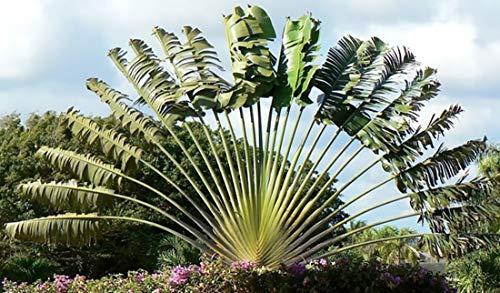 Ravenala madagascariensis 10 Samen - Baum der Reisenden - Bananensamen-