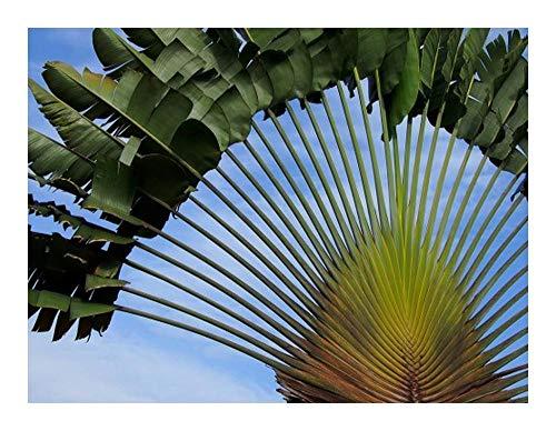 Ravenala madagascariensis - Baum der Reisenden - 15 Samen