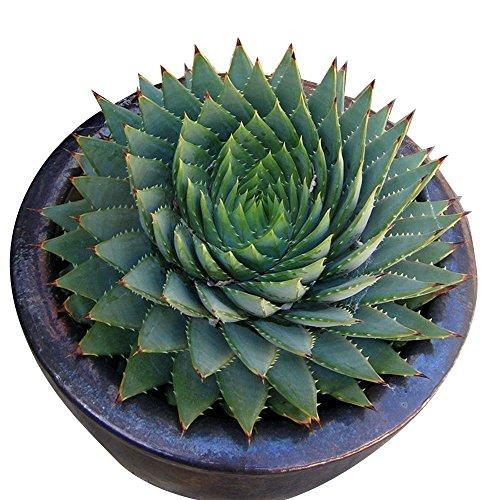 Rosepoem 100 teile  beutel Seltene Grüne Kaktus Samen Vielzahl Exotische Blühende Farbe Kakteen Seltene Kaktus Aloe Seed Büro Pflanze Sukkulenten Pflanzen