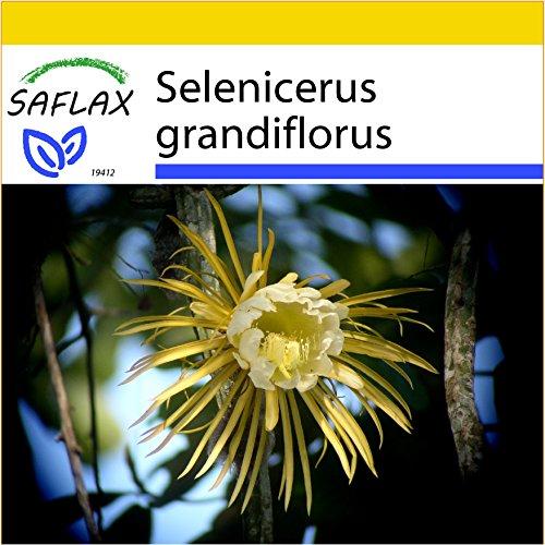 SAFLAX - Anzucht Set - Kakteen - Königin der Nacht - 40 Samen - Selenicerus grandiflorus