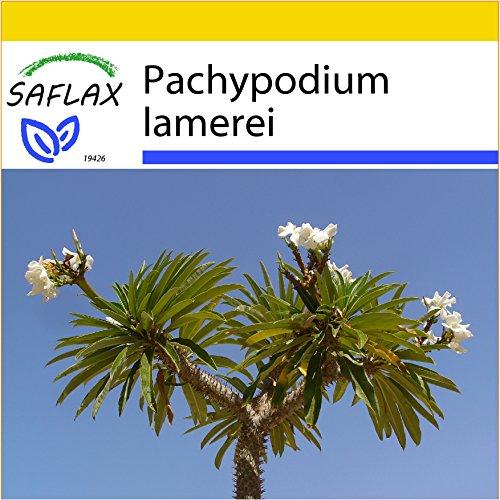 SAFLAX - Anzucht Set - Kakteen - Madagascar - Palme - 10 Samen - Pachypodium lamerei