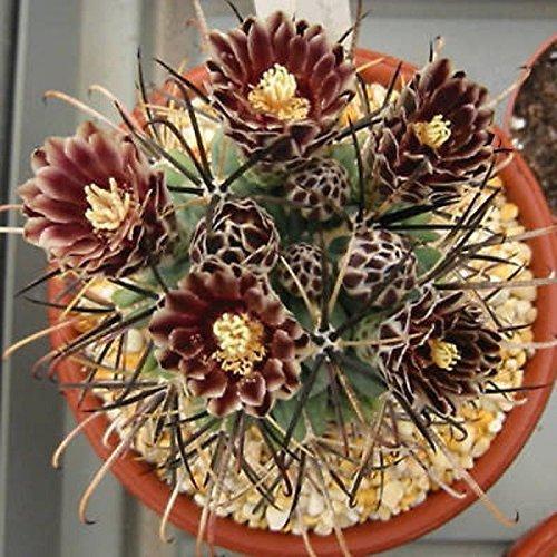 Sclerocactus uncinatus exotische seltene blühende Kakteen blühen Kakteen Samen 100 Samen