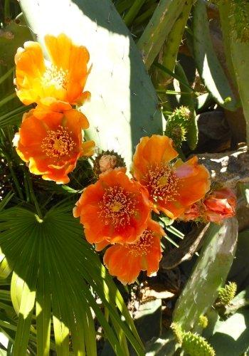 TROPICA - Kakteen Indischer Feigenkaktus  Opuntia indica syn Opuntia tunas  - 20 Samen
