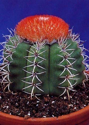 Tropica - Kakteen - Cubanischer Melonenkaktus Melocactus matanzanus - 40 Samen