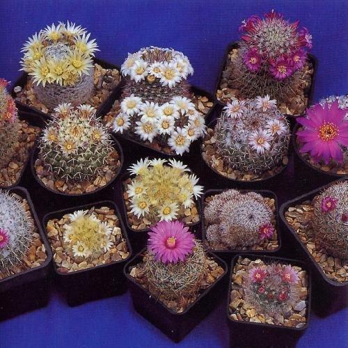 Tropica - Kakteen - Mammilaria Mischung Mammilaria - 100 Samen
