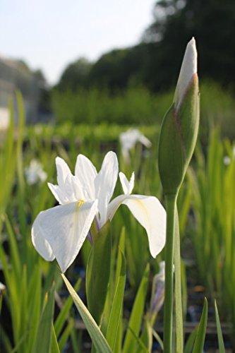 2er-Set - winterhart - Iris Sibirica-Hybr weiß - Staude des Jahres 2016 - sibirische Wieseniris - Wasserpflanzen Wolff