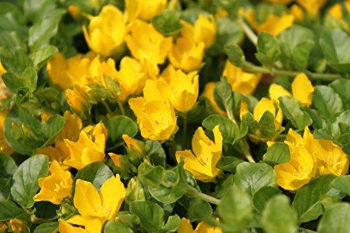 2er-Set - winterhart - Lysimachia nummularia - Pfennigkraut - Pfennig-Gilbweiderich - Münzkraut gelb - Wasserpflanzen Wolff