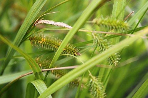 4er-Set im Gratis-Pflanzkorb - Carex pseudocyperus - Scheinzypergras-Segge - Segge - Wasserpflanzen Wolff - Staude des Jahres 2015