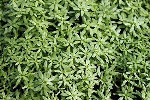 4er-Set im Gratis-Pflanzkorb - winterhart - Klärpflanze - Callitriche palustris - Sumpf-Wasserstern - Frühlingswasserstern - Wasserpflanzen Wolff