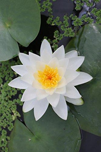 Seerose im Pflanzkorb - Nymphaea Pöstlingberg Gladstoniana weiß - Wasserpflanzen Wolff