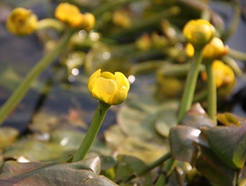 Wasserpflanzen Wolff - Nuphar lutea im Pflanzenkorb - Mummel - gelbe Teichrose