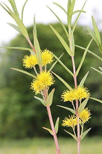 Wasserpflanzen Wolff - winterhart - Lysimachia thyrsiflora - Straußgoldfelberich gelb