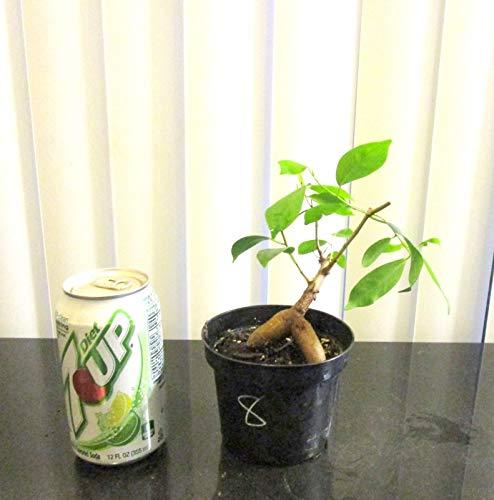 PLAT FIRM GERMINATIONSAMEN Entzückende Ginseng Ficus für Mame Shohin Bonsai-Baum  8