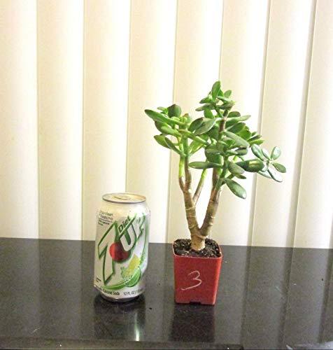 PLAT FIRM GERMINATIONSAMEN Hardy Jade Crosbys zwergartige Crassula-Pflanze für Shohin Mame Bonsai Tree  3