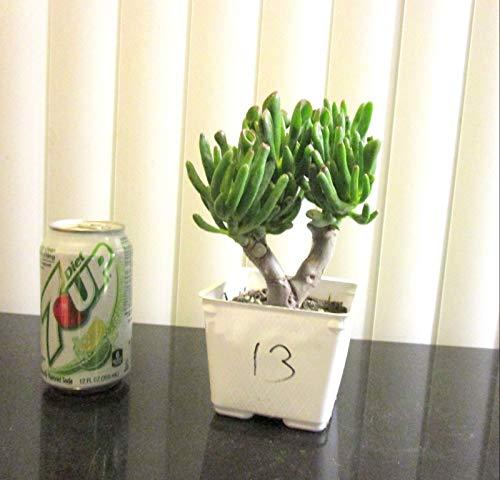 PLAT FIRM GERMINATIONSAMEN Hardy Jade Gollum Crassula Pflanze für Shohin Mame Bonsai-Baum  13