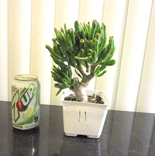 PLAT FIRM GERMINATIONSAMEN Hardy Jade Gollum Crassula Pflanze für Shohin Mame Bonsai Tree  11