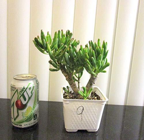 PLAT FIRM GERMINATIONSAMEN Hardy Jade Gollum Crassula Pflanze für Shohin Mame Bonsai Tree  9