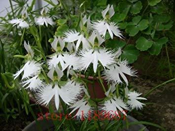 Vista 100 teilebeutel Japanische Radiata Samen Weißen Reiher Orchidee Samen Weltweit Seltene Orchidee Arten Weiße Blumen Orchidee für Garten hause
