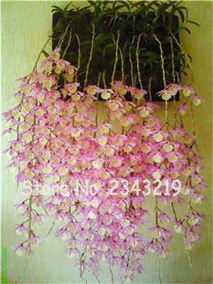 100 Stück Dendrobium Samen Topf Seed Blume In Bonsai Seltene Orchideen-Pflanzen Die Budding Rate 95 Mischfarben 20