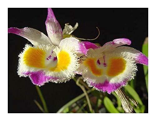 Dendrobium devonianum - Orchideen - 100 Samen