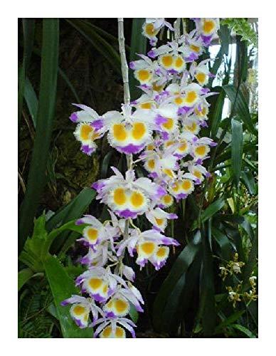 Dendrobium wardianum - Orchideen - 100 Samen