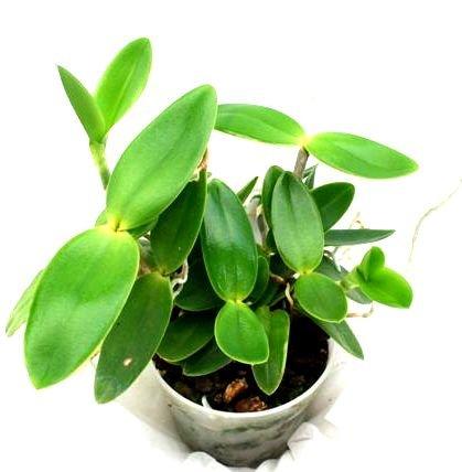 1 blühfähige Orchidee der Sorte Cattleya intermedia 12cm Topf