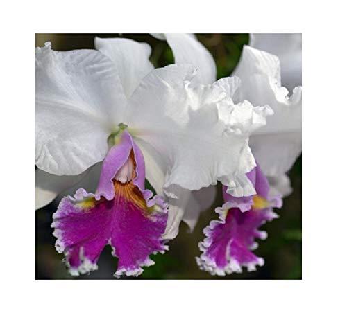 1x Frisch Cattleya Mrs Frederick Knollys Orchidee Topf Pflanze Zimmer L282