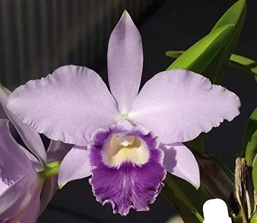 PLAT FIRM GERMINATIONSAMEN BIN Lc Liebe-Knoten Carmela Cattleya Orchidee Pflanze 2 12 Pot