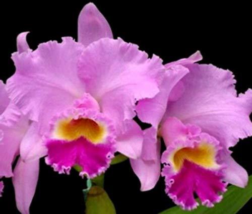 PLAT FIRM GERMINATIONSAMEN Bin Mami Akatsuka Volcano Queen Mericlone Cattleya Orchidee