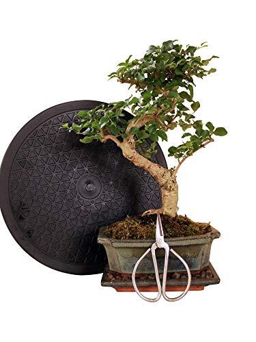 Anfänger Bonsai-Set Liguster - 4 teilig - ca 30cm hoher Liguster-Bonsai 1 Schere 1 Untersetzer 1 Arbeitsdrehteller