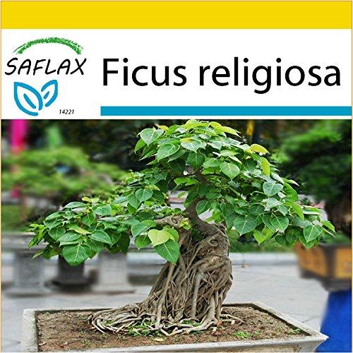 SAFLAX - Anzucht Set - Bonsai - Buddha-FeigeBodhi-Baum - 100 Samen - Ficus religiosa