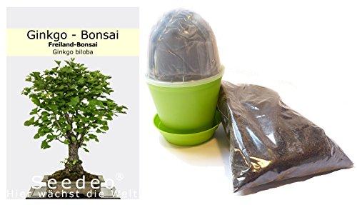 Seedeo Bonsai Anzuchtset Ginkgo Ginkgo biloba