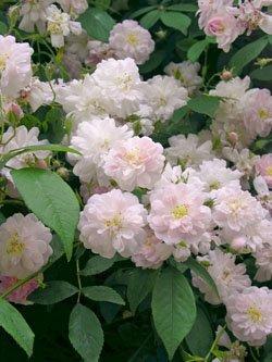 Pauls Himalayan Musk Rambler-Rose in A-Qualität Wurzelware