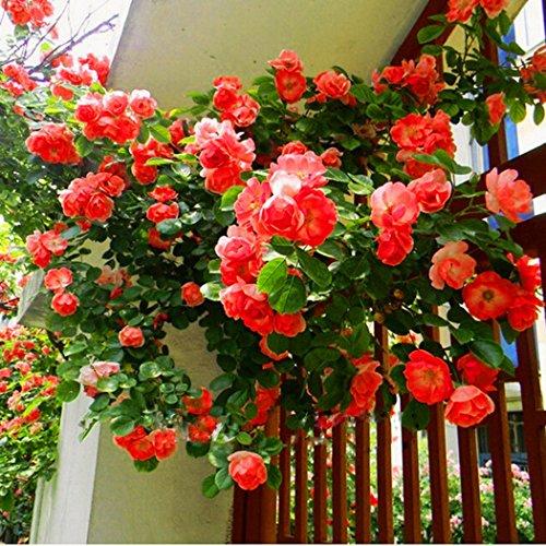 Keland Garten - Kletterrosen Samen winterhart mehrjährig 100pcs Rambler-Rose Rank- und Kletterpflanzen für Wände Zäune FasadenRosenbögen und Pergolen rot