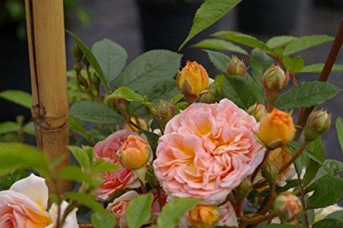 Kletterrose Ghislaine de Feligonde - Rosa Ghislaine de Feligonde - gelborange-apricot - Duft - Ramblerrose