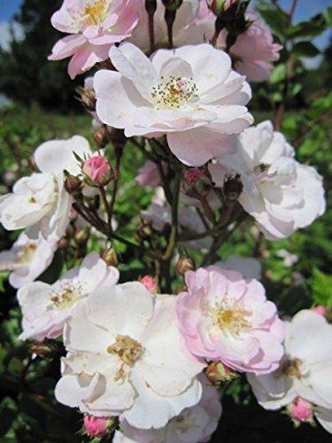 Kletterrose Perennial Blush - Rosa Perennial Blush - hellrosa-weiß - Duft - Tantau-Rose - Ramblerrose